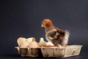 Kuikentje-in-eierdoosje
