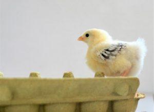 Kuikentje-op-rand-eierdoos